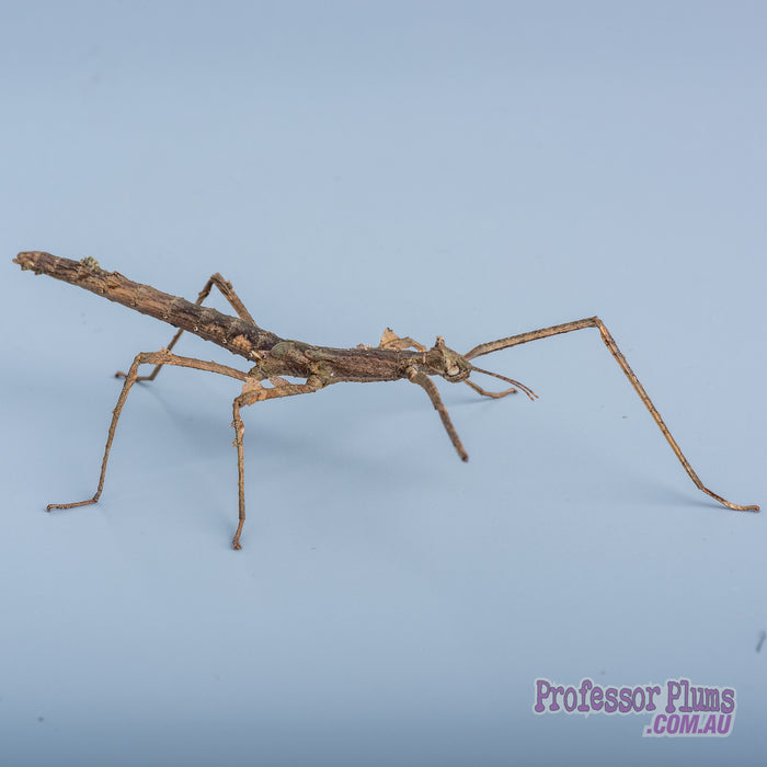 Insectimo | Stick Insect (Crowned)