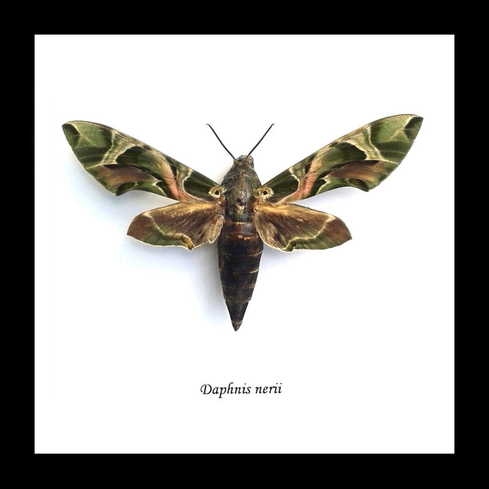 Bits And Bugs | Daphnis Nerii (Oleander Hawk-Moth) Framed