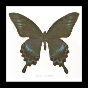Bits And Bugs | Papilio Maackii (Alpine Swallowtail) Framed