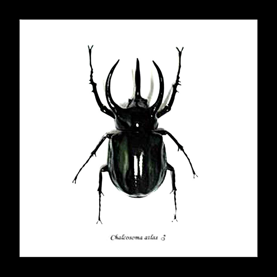 Bits And Bugs | Chalcosoma Atlas Framed