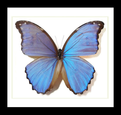 Bits And Bugs | Morpho Godarti Butterfly Framed