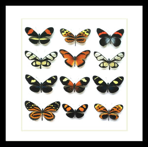 Bits And Bugs | Ithomiinae Butterfly Framed Set Of 12