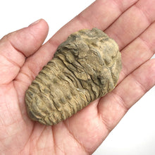 Load image into Gallery viewer, Geodiscoveries | Fossils Rough Trilobite