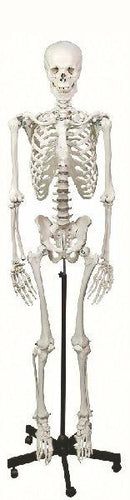 Human Skeleton | Life Sized On Stand