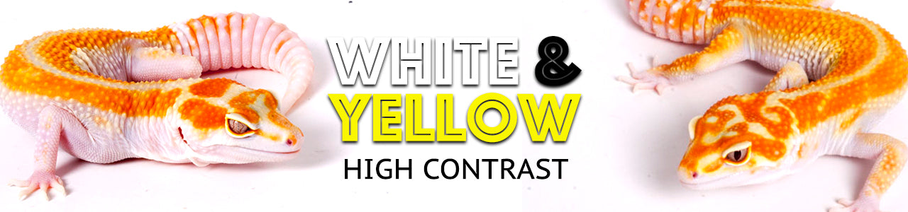 White and Yellow leopard gecko banner