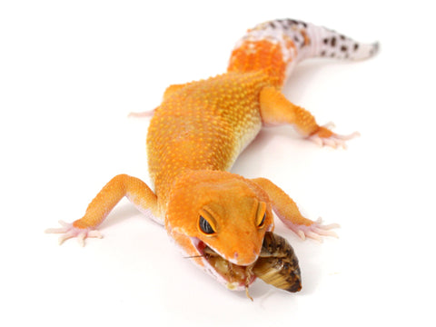 Purchasing and Acclimating a New Gecko | Gecko Daddy