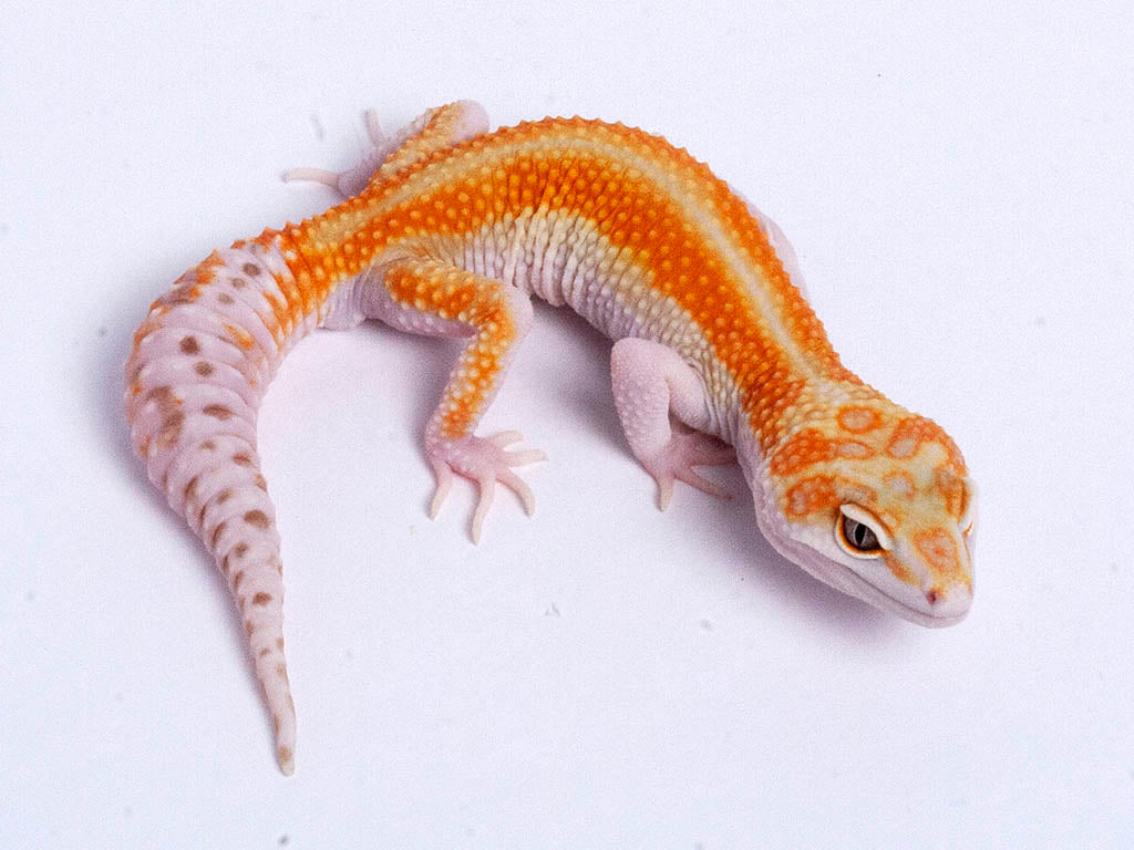 Tremper Tangerine White and Yellow possible het Raptor g2–061619b–male