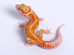 Tremper Tangerine White and Yellow possible het Raptor g2–071419b–female