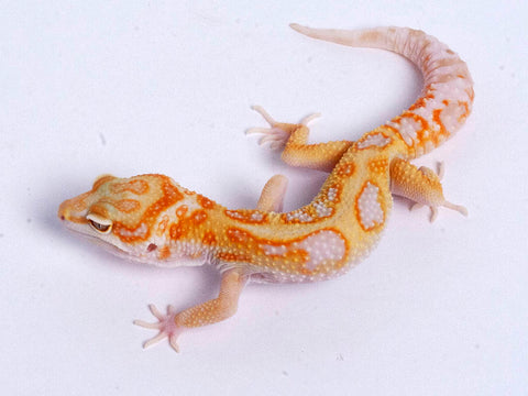 Tremper Tangerine White and Yellow possible het Raptor g3–072919–male