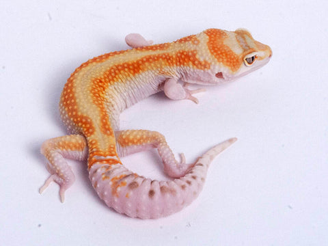 Tremper Tangerine White and Yellow possible het Raptor g4–060819–male