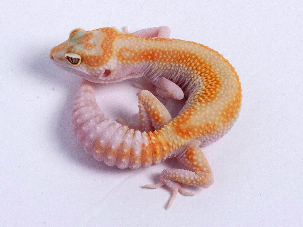 Tremper Tangerine White and Yellow possible het Raptor g4–070519a–female