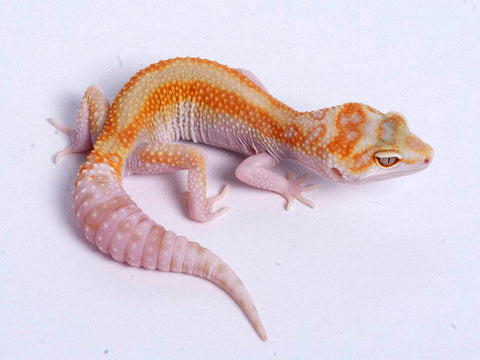 Tremper Tangerine White and Yellow possible het Raptor g4–071619b–female