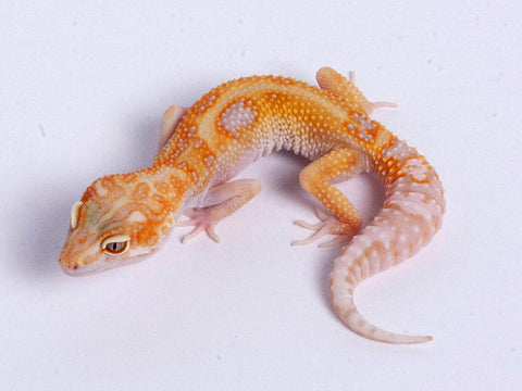Tremper Tangerine White and Yellow possible het Raptor g4–072219a–female