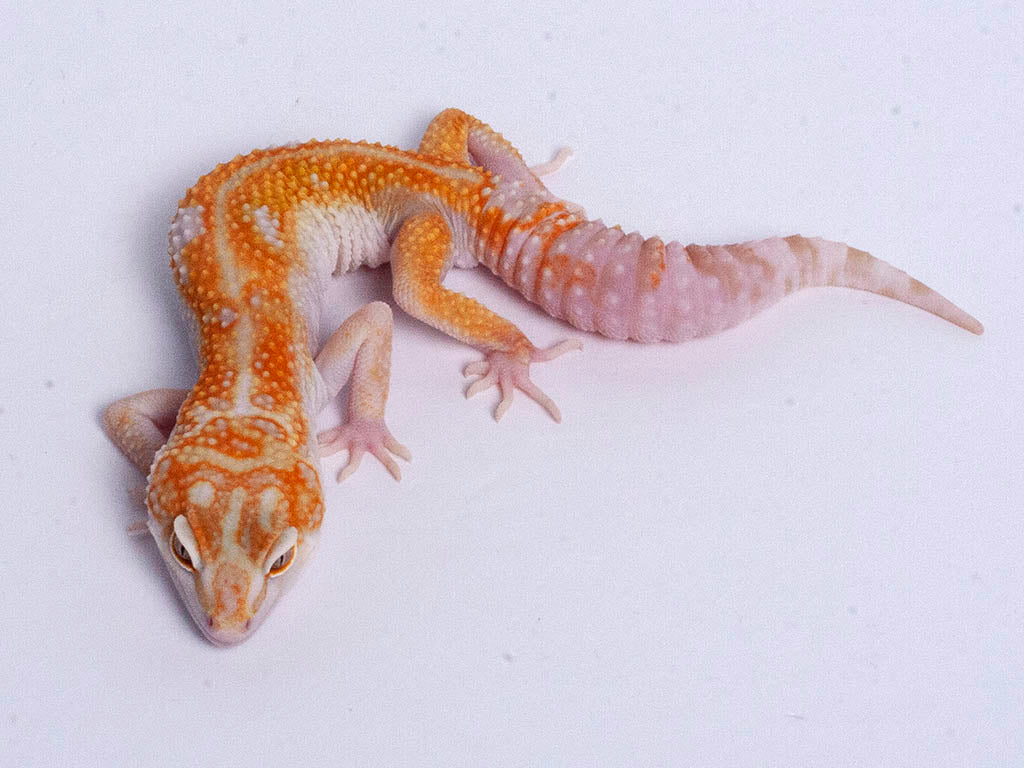 Tremper Tangerine White and Yellow possible het Raptor g4–072219b–male