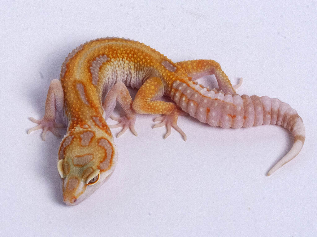 Tremper Tangerine White and Yellow possible het Raptor g5–071719b–female