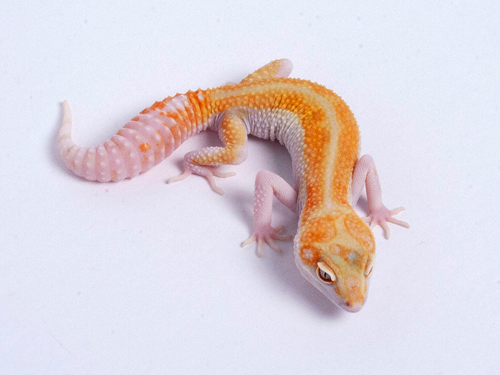 Tremper Tangerine White and Yellow possible het Raptor g5–072119–male