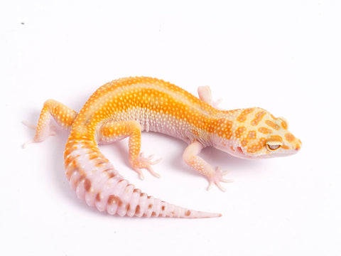 Tremper Tangerine White and Yellow poss. het Raptor-g2-050219-female