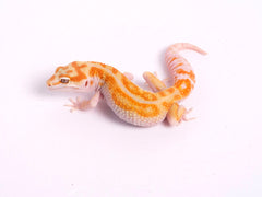 Tremper Tangerine White and Yellow poss. het Raptor-g4-081519-female