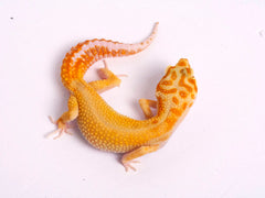 Tremper Tangerine White and Yellow poss. het Raptor-g4-081819b-female