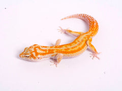 Tremper Tangerine White and Yellow poss. het Raptor-g4-082219-male
