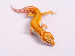Tremper Tangerine White and Yellow poss. het Raptor-g5-073119a-male