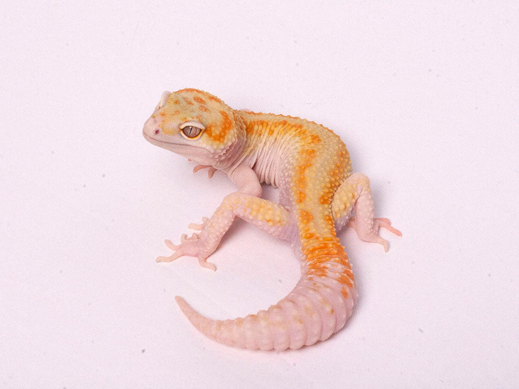 Tremper Tangerine White and Yellow poss. het Raptor-g5-073119b-male