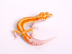 Tremper Tangerine White and Yellow poss. het Raptor-g5-081819a-male