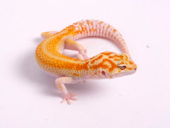 Tremper Tangerine White and Yellow poss. het Raptor-g5-081819b-male