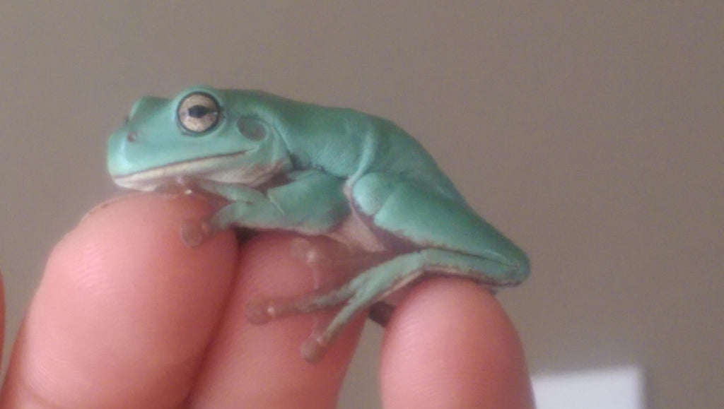 White's Tree Frogs