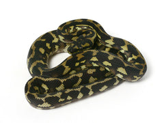 Irian Jaya Sibling Jaguar Carpet Python _2012_female1