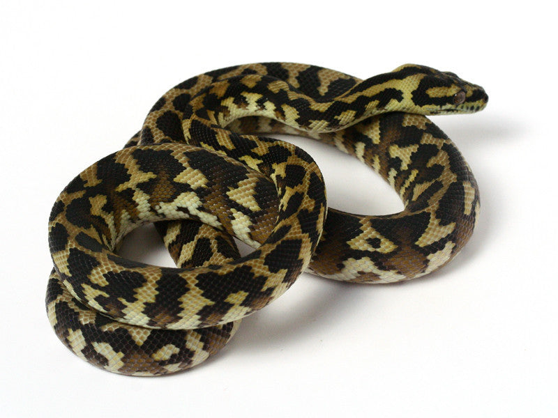 Irian Jaya Sibling Jaguar Carpet Python _2012_female2