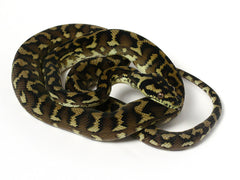 Irian Jaya Sibling Jaguar Carpet Python _2012_female3