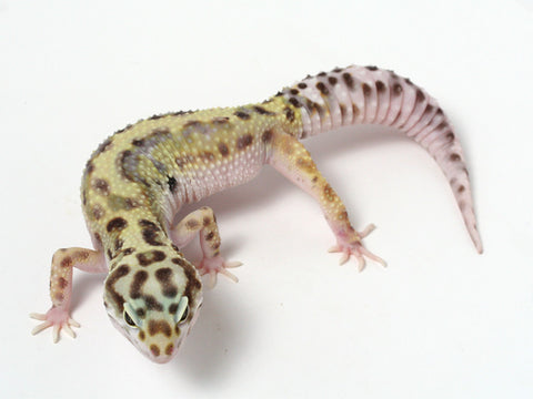 Halloween Mask R2 Bold Leopard Gecko -  061412 - female