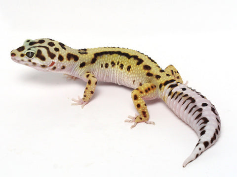 Halloween Mask R2 Bold Leopard Gecko -  062312 - female