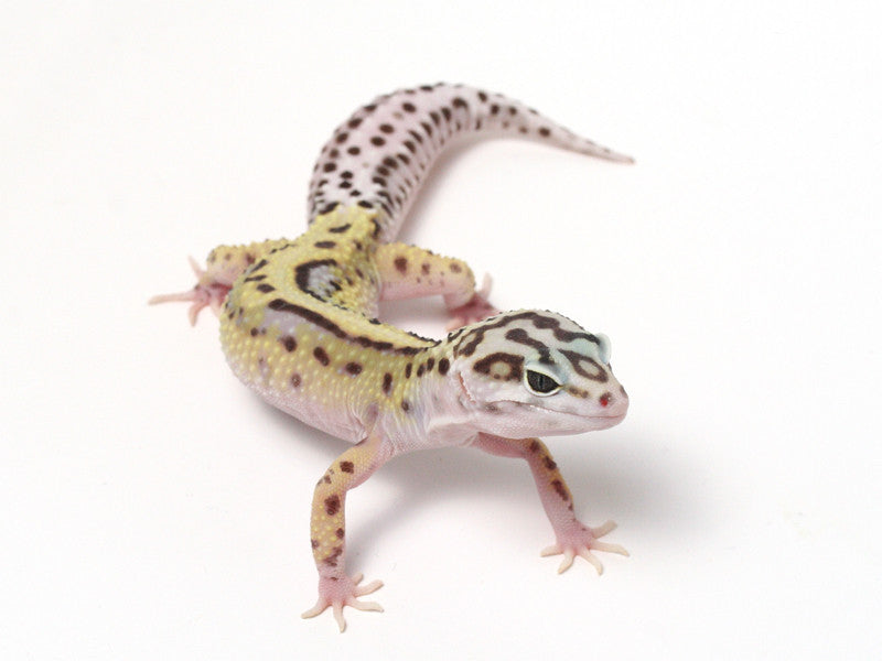 Halloween Mask X TUG Snow Leopard Gecko -  080612b - female