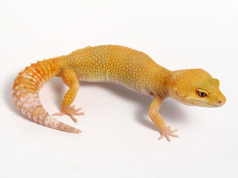 Sunglow Leopard Gecko - 03-070712-female
