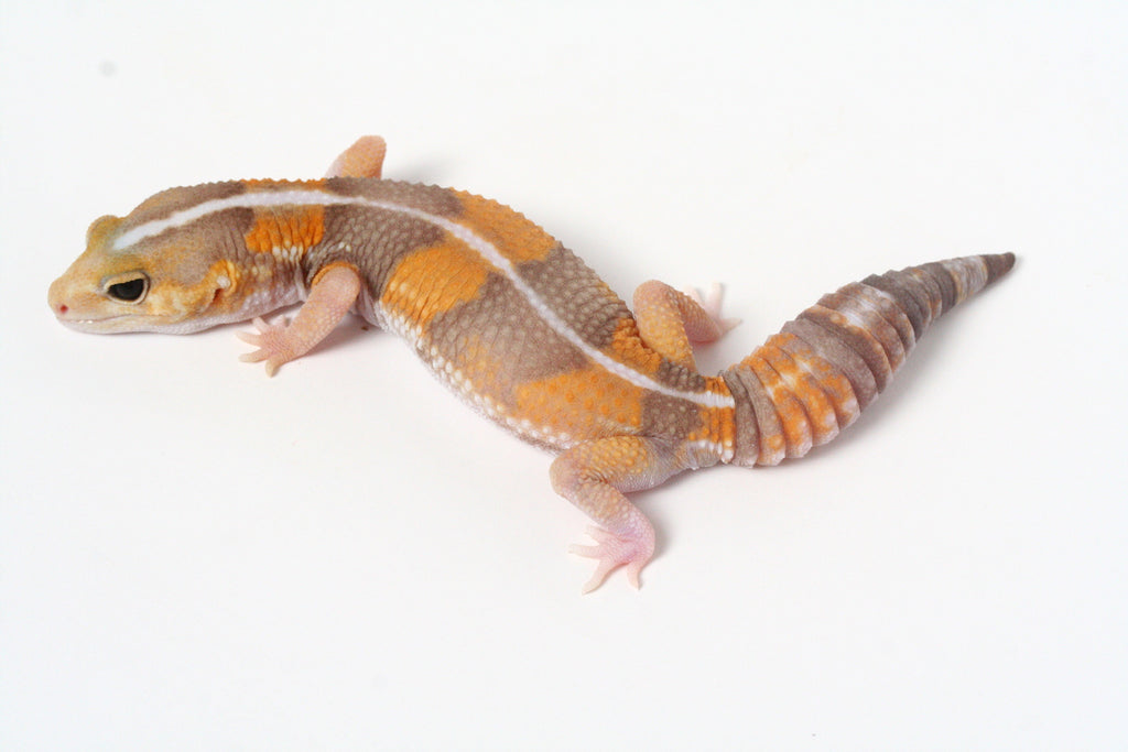 *SOLD - GREG*  Amel Whitesock African Fat Tailed Gecko - 053013 - female