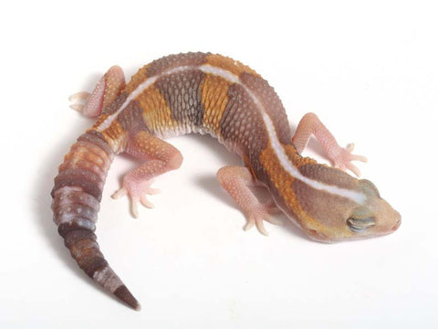 Amel WhiteSock African Fat Tailed Gecko - 052312 - female