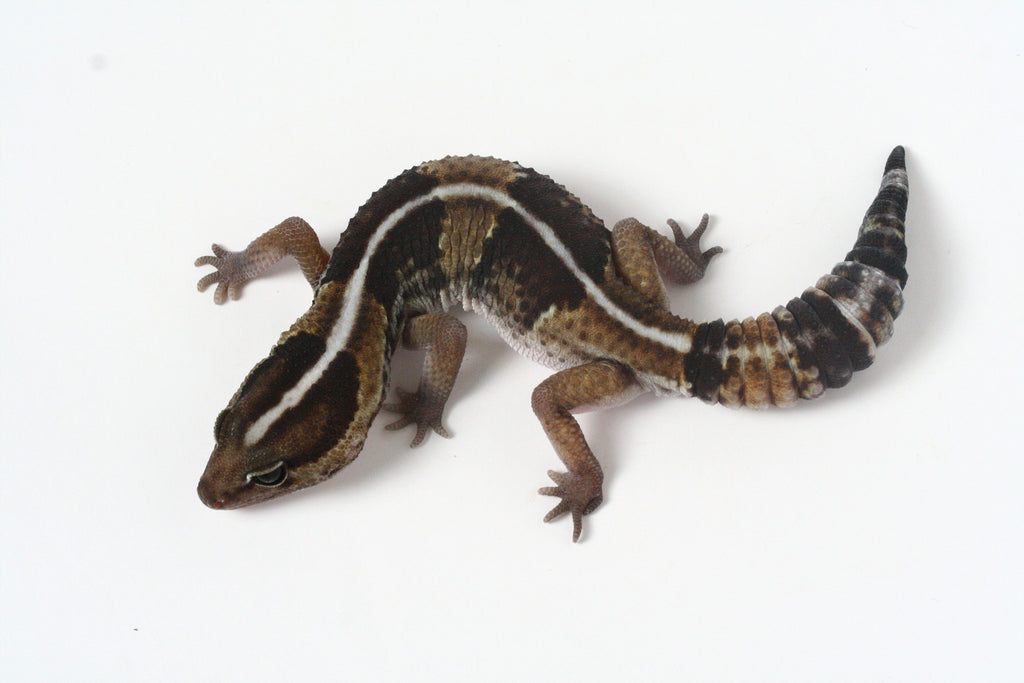 *SOLD - NICK* Poss. Het Amel / 100% het Whitesock African Fat Tailed Gecko - 062313b - male