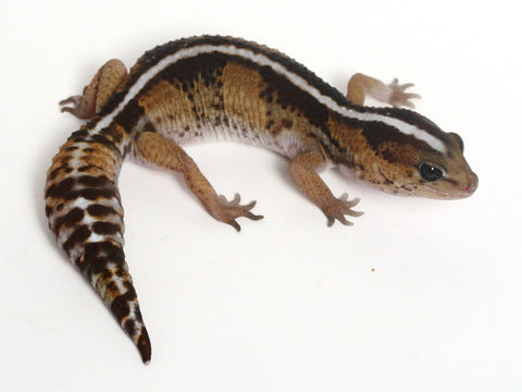 *SOLD- GREG*  Poss Het Amel / 100% het Whitesock African Fat Tailed Gecko - 033013A - female