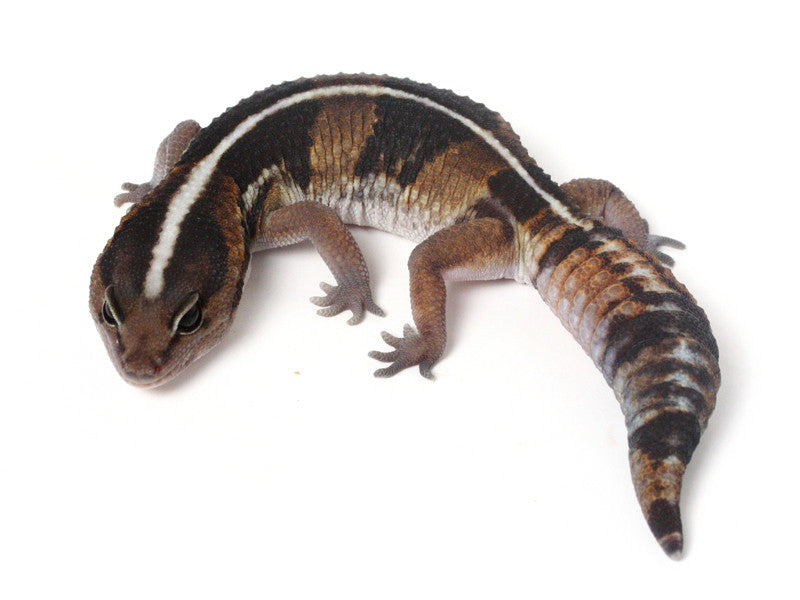 *SOLD - NICK* Poss. Het Amel / 100% het Whitesock African Fat Tailed Gecko - 042513 - female