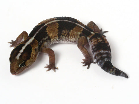 *SOLD - NICK* Poss Het Amel / 100% het Whitesock African Fat Tailed Gecko - 052313 - female