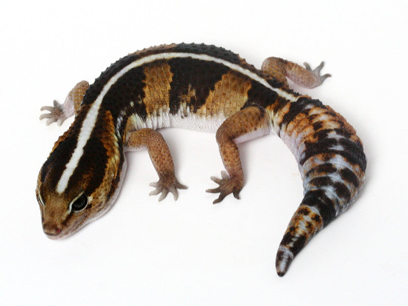 *SOLD - GREG* Poss Het Amel / 100% Het Whitesock African Fat Tailed Gecko - 052613 - female