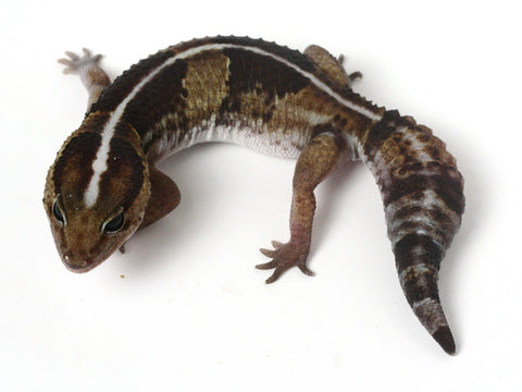 *SOLD - GREG* Poss Het Amel / 100% Het Whitesock African Fat Tailed Gecko - 041413 - female