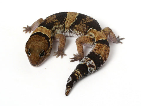Possible het Amel / het Whitesock African Fat Tailed Gecko - 042613 - male