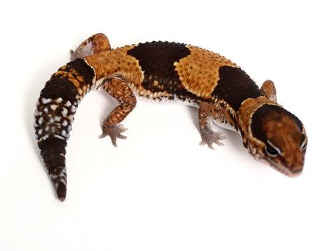 African Fat Tail Gecko - 041416 - male