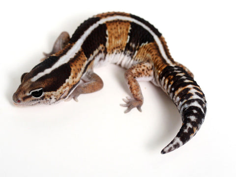 African Fat Tail Gecko - 041616 - male