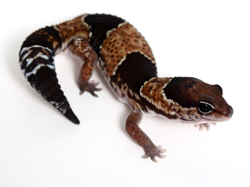 African Fat Tail Gecko - 041916 - male