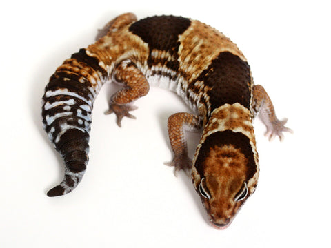 Het Patternless African Fat Tail Gecko - 041816 - male
