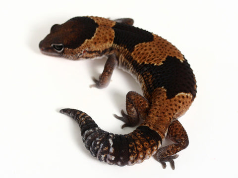 Het Patternless African Fat Tail Gecko - 041916 - male